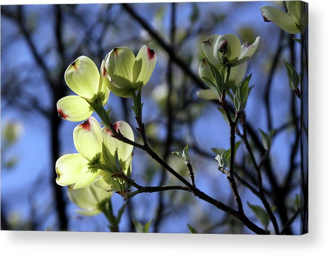 Dogwood Tree Acrylic Print featuring the photograph Dogwood in Sunlight by John Lautermilch