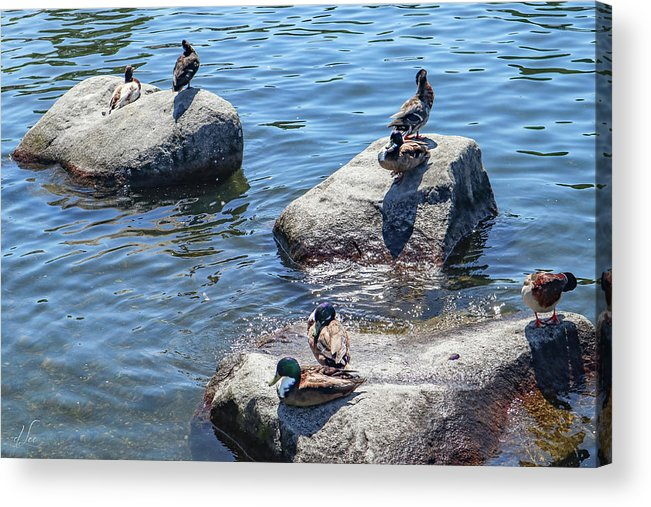 Duck Acrylic Print featuring the photograph Duck couples on a date by D Lee