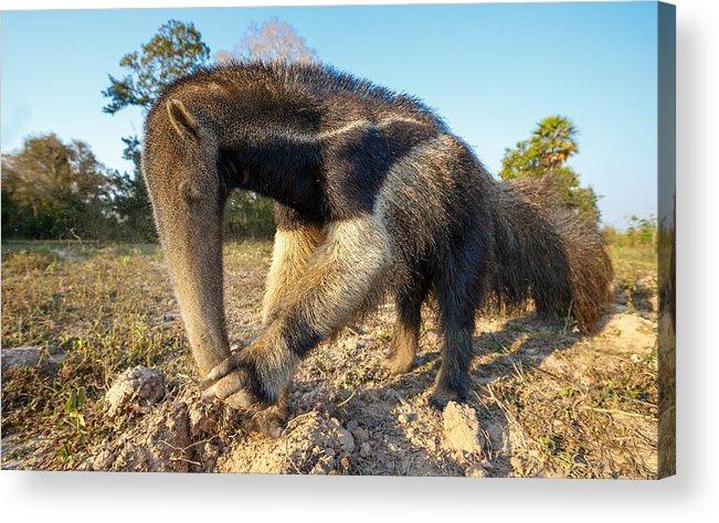 Animal Themes Acrylic Print featuring the photograph Giant ant eater by Alexandr Sanin
