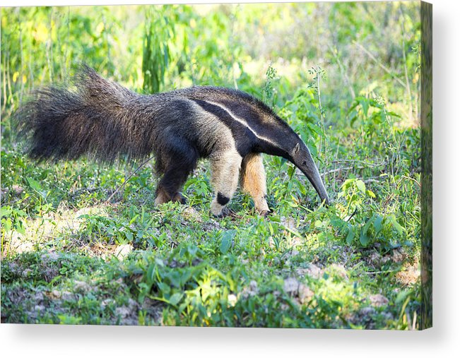 Animals In The Wild Acrylic Print featuring the photograph Giant Anteater Wetland Brazil by Fandrade