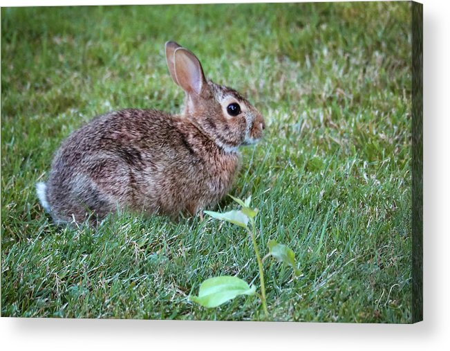 Bunny Acrylic Print featuring the photograph Hopping Along by D Lee
