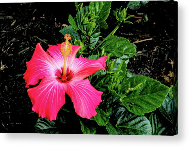 Flower Acrylic Print featuring the digital art La cayena by Daniel Cornell