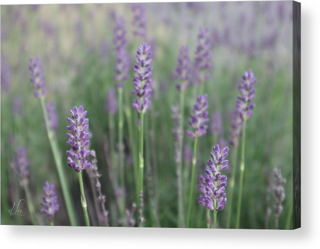 Lavender Acrylic Print featuring the photograph Lavender Wisdom by D Lee