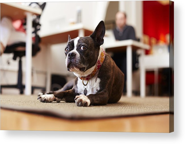 Pets Acrylic Print featuring the photograph Portrait of curious dog lying on rug in an office by Seth K. Hughes