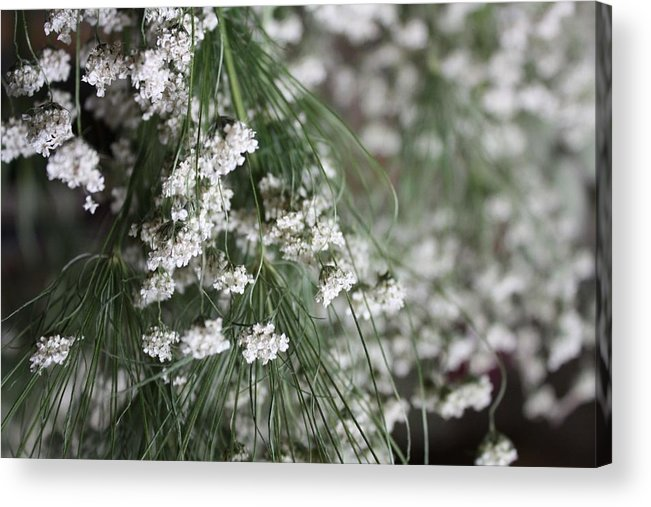 Queen Anne's Lace Acrylic Print featuring the photograph Queen Anne's Lace by Vicki Cridland