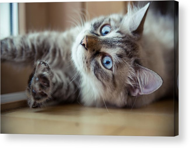 Pets Acrylic Print featuring the photograph Ragdoll Cat Casper by Alex Barlow