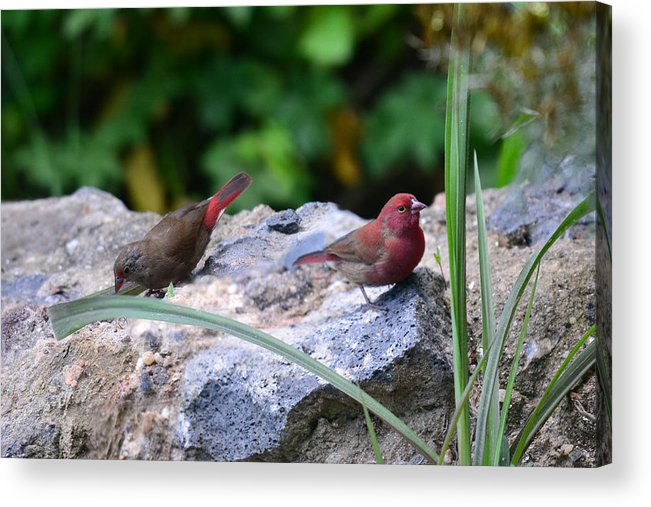 Animal Themes Acrylic Print featuring the photograph Red-billed Firefinch (Lagonosticta senegala) couple by Michele D'Amico supersky77