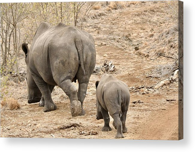 Animal Themes Acrylic Print featuring the photograph Rhino Pair Leaving by Jeff R Clow