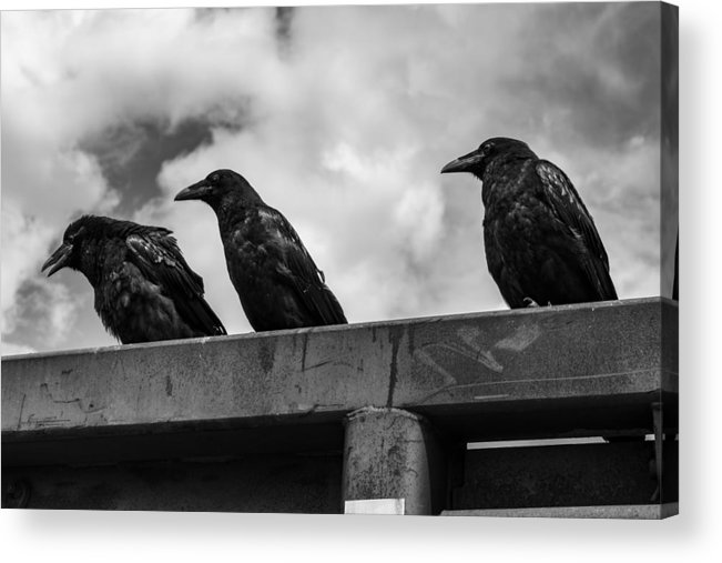 Three Acrylic Print featuring the photograph Three Crows 2 by Damon Dulewich