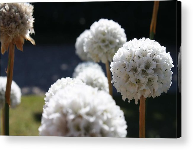 Aliums Acrylic Print featuring the photograph White Aliums by Vicki Cridland