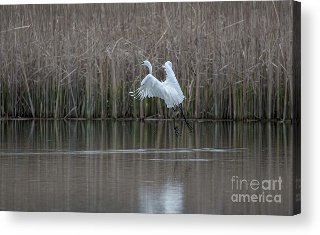 White Egret Acrylic Print featuring the photograph White Egret - 2 by David Bearden
