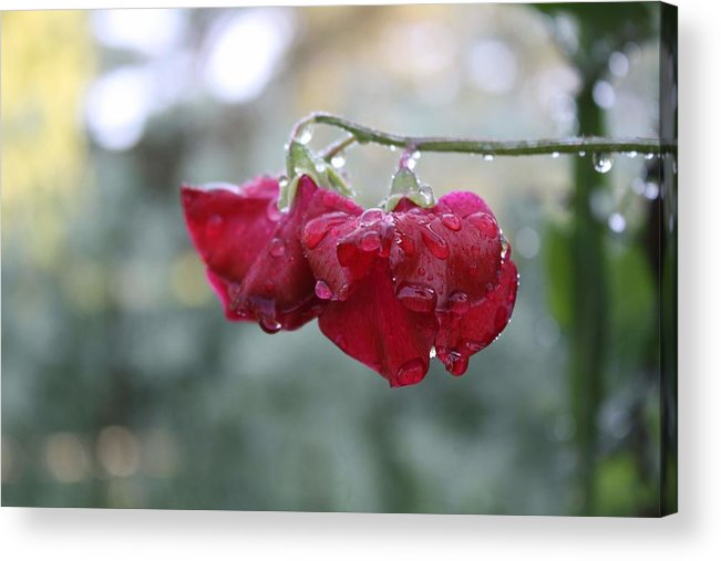 Wine Red Acrylic Print featuring the photograph Wine Red Sweet Pea by Vicki Cridland