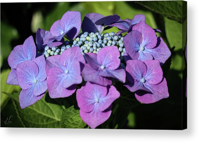 Blue Acrylic Print featuring the photograph Blue Hydrangea Buding by D Lee