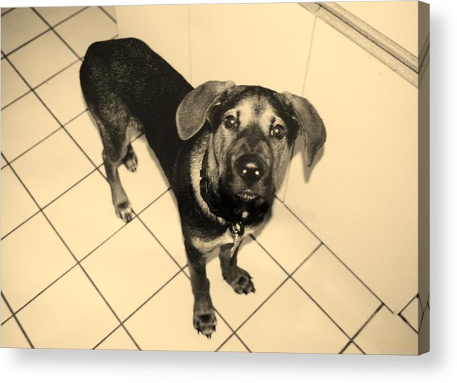 Dog Acrylic Print featuring the photograph Dukie by Rob Hans