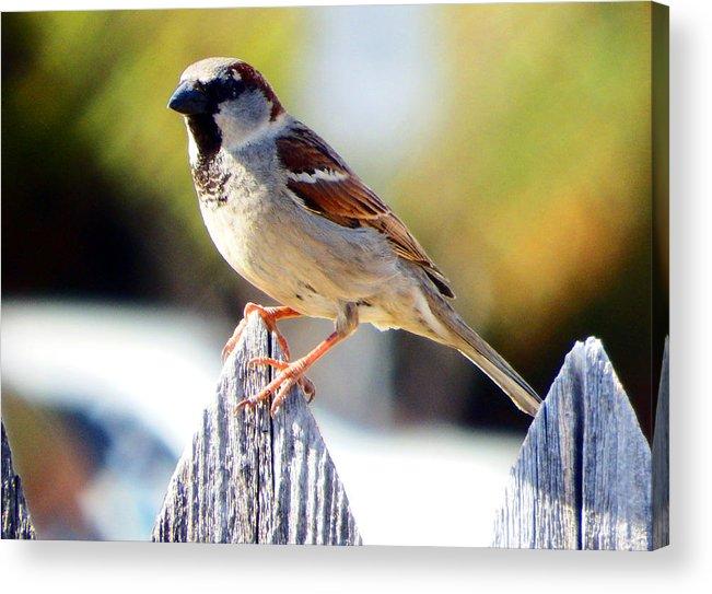 Sparrow Acrylic Print featuring the photograph House Sparrow by David G Paul
