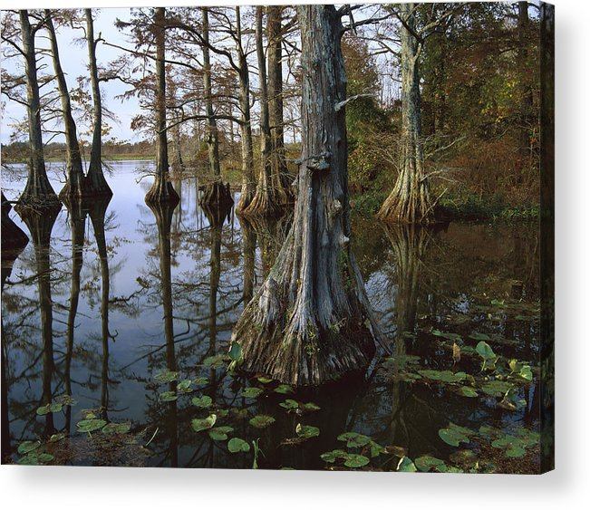 00174916 Acrylic Print featuring the photograph Bald Cypress At Upper Blue Basin This by Tim Fitzharris