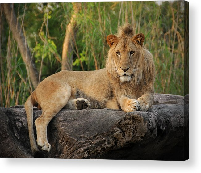 Lion Acrylic Print featuring the photograph Classic Young Male by Steven Sparks