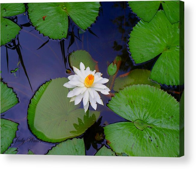 Lily Acrylic Print featuring the photograph The Water Lily by Judy Waller