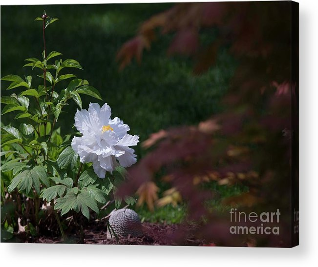 White Acrylic Print featuring the photograph White Peony by David Bearden