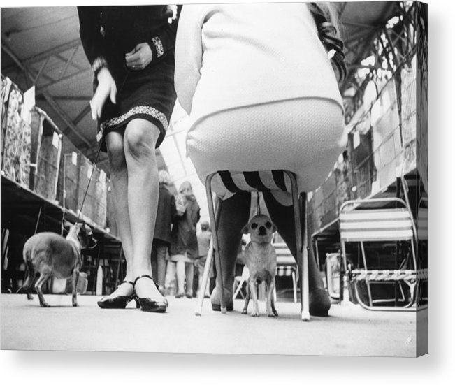 England Acrylic Print featuring the photograph Chihuahuas by Keystone