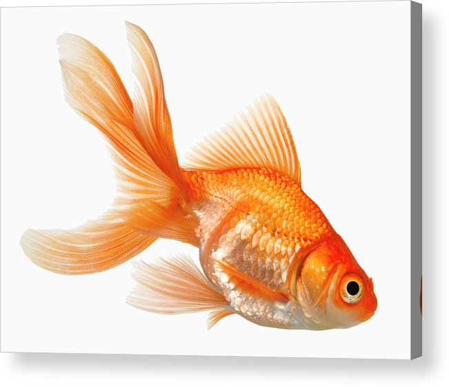 Orange Color Acrylic Print featuring the photograph Fancy Goldfish by Don Farrall