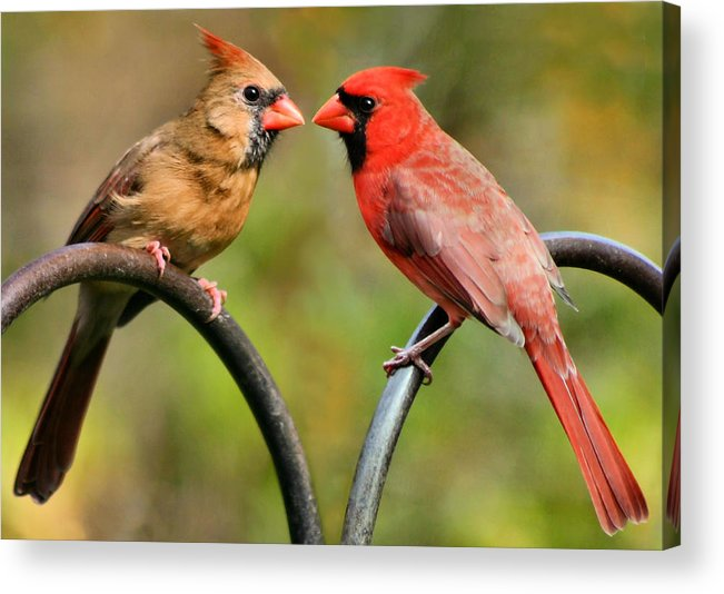 Cardinalis Acrylic Print featuring the photograph Cardinal Love by Kristin Elmquist