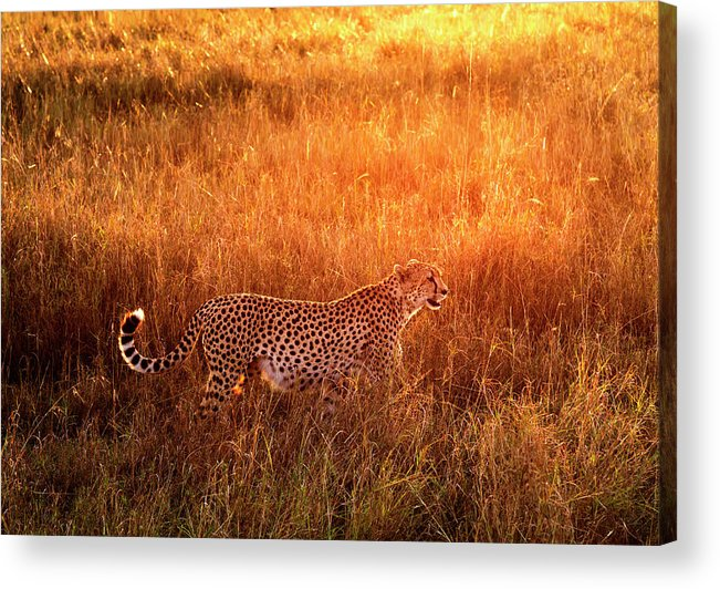 Scenics Acrylic Print featuring the photograph Cheetah In The Grass At Sunrise by Mike Hill