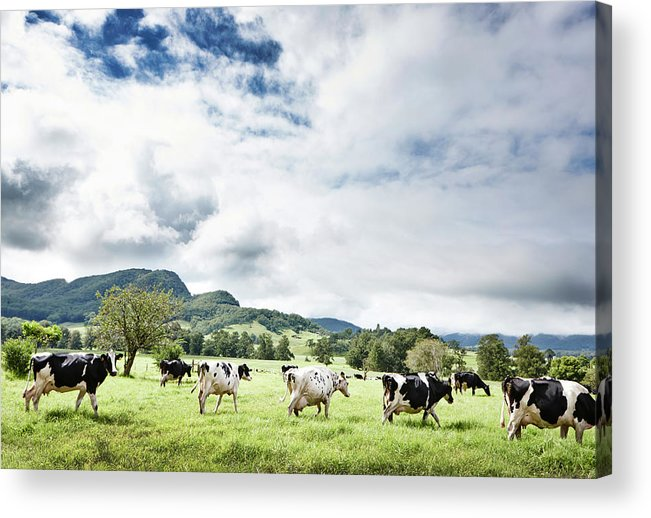 Domestic Animals Acrylic Print featuring the photograph Cows Walk In Beautiful Paddock by Stuart Miller