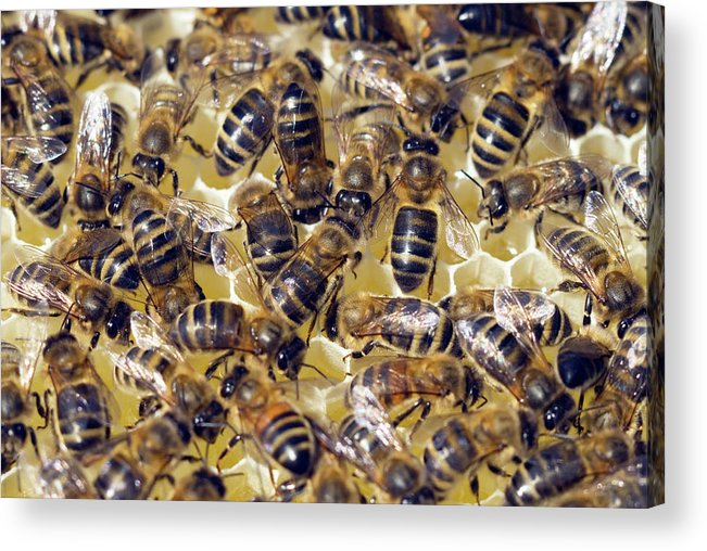 Apis Mellifera Acrylic Print featuring the photograph Honeybees On Honeycomb by Simon Fraser/science Photo Library