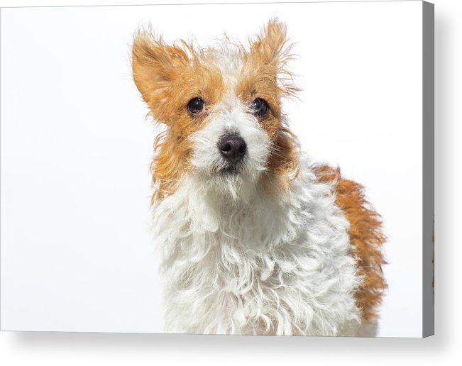 Pets Acrylic Print featuring the photograph Jack Russell Terrier - The Amanda by Amandafoundation.org
