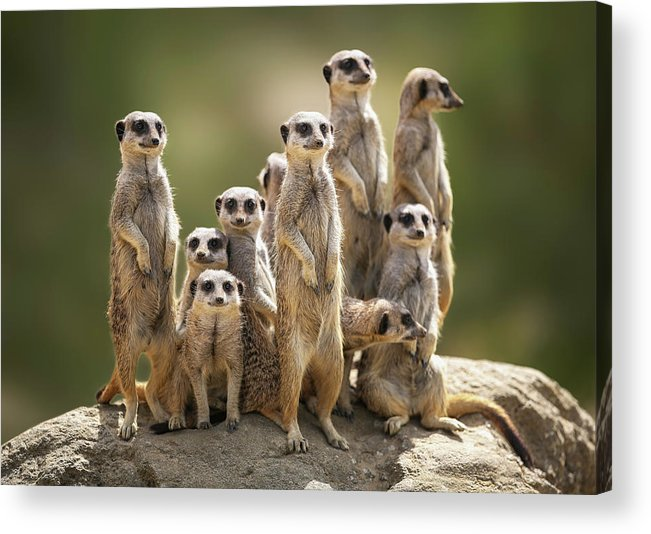 Scenics Acrylic Print featuring the photograph Meerkat Family On Lookout by Kristianbell