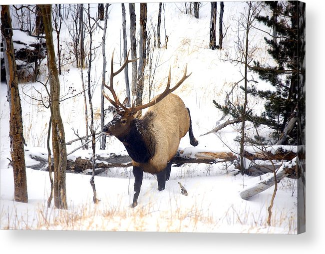 Elk Acrylic Print featuring the photograph On the Move by Mike Dawson