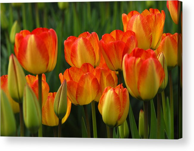 Tulip Acrylic Print featuring the photograph Pacific Northwest Tulips 1 by Keith Gondron