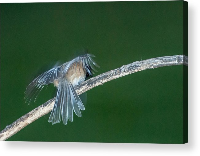 Bird Acrylic Print featuring the photograph Tail Feathers by Paul Johnson
