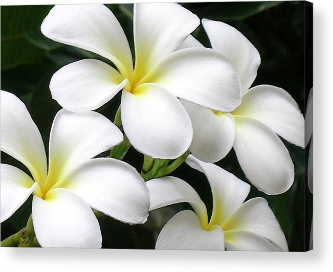 Hawaii Iphone Cases Acrylic Print featuring the photograph White Plumeria by James Temple