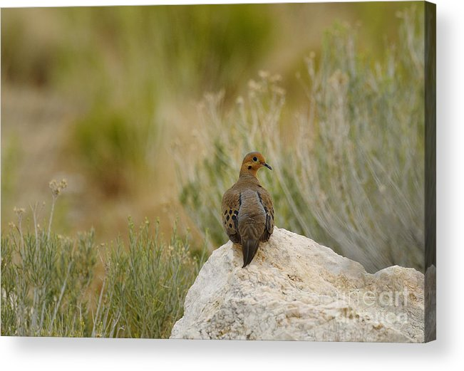 Birds Acrylic Print featuring the photograph Mourning Dove by Dennis Hammer