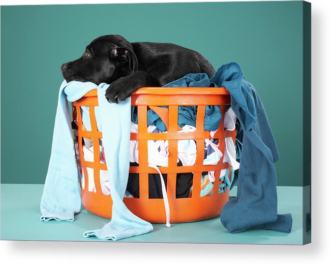Horizontal Acrylic Print featuring the photograph Puppy Lying In Laundry Basket by Martin Poole