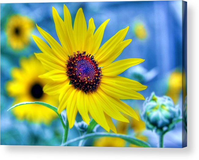 Sunflower Acrylic Print featuring the photograph Stories by Mitch Cat