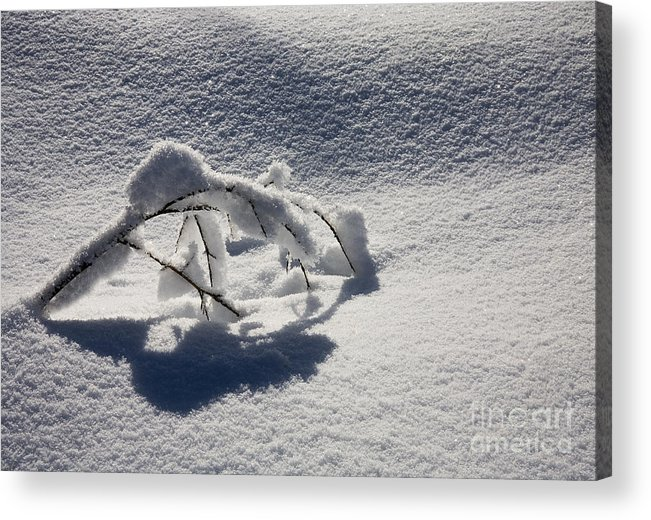 Sapling Acrylic Print featuring the photograph The Weight of Winter by Mike Dawson