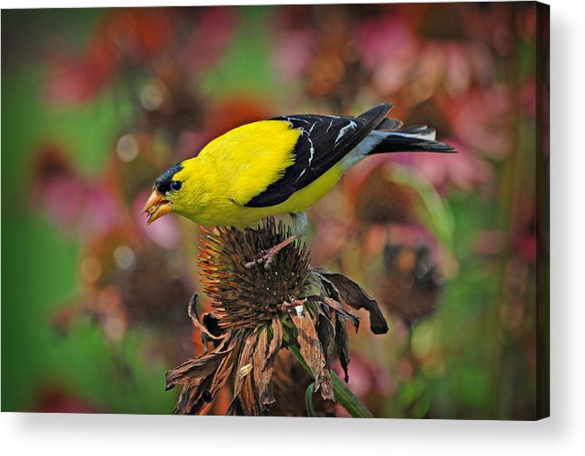American Acrylic Print featuring the photograph American Goldfinch by Dave Chafin