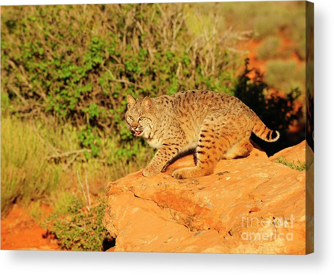 Wildlife Acrylic Print featuring the photograph Bobcat Prowling by Dennis Hammer