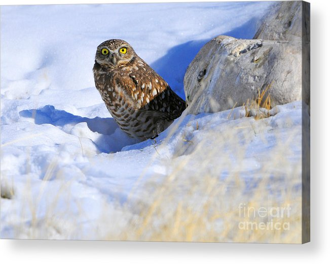 Bird Acrylic Print featuring the photograph Burrowing Owl in Winter by Dennis Hammer