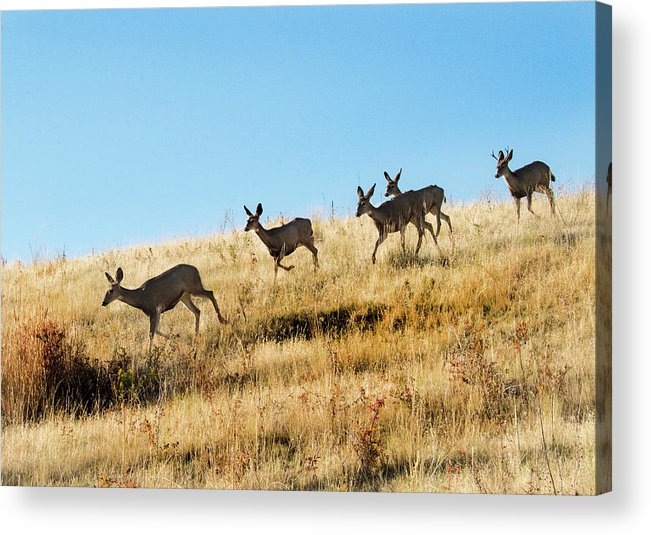 Deer Acrylic Print featuring the photograph Deer on the run by Roy Nierdieck