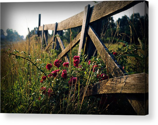 Flower Acrylic Print featuring the photograph Fence and Roses by Dave Chafin