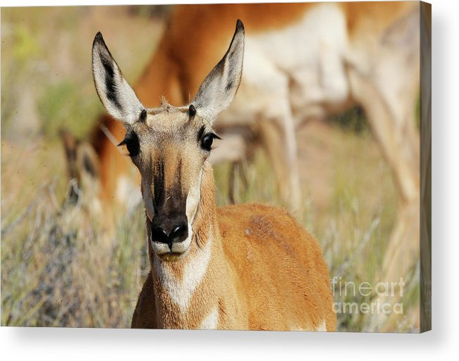 Antelope Acrylic Print featuring the photograph Headshot by Dennis Hammer