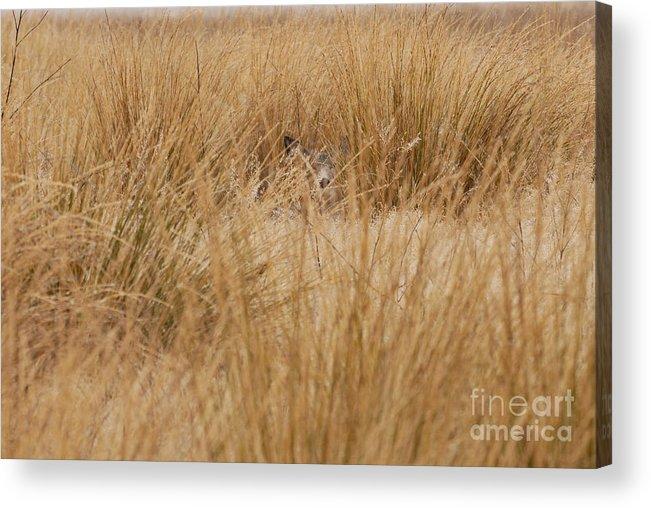Deer Acrylic Print featuring the photograph Hidden Mule Deer by Dennis Hammer