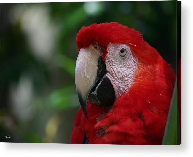 Bird Acrylic Print featuring the photograph Old Red Parrot by Ruben Flanagan