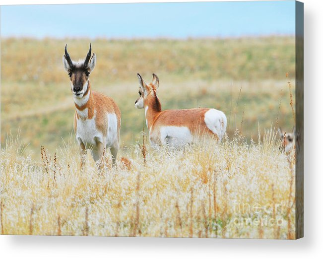 North American Wildlife Acrylic Print featuring the photograph Prairie Pronghorn by Dennis Hammer