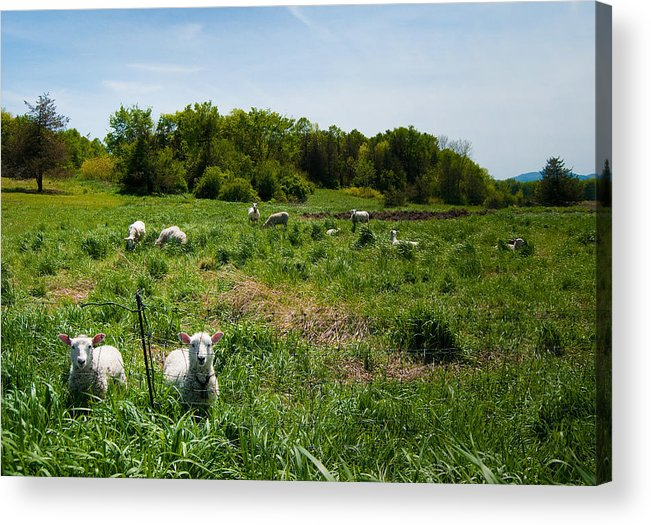 Sheep Acrylic Print featuring the photograph Sheep Stare by Mandy Wiltse