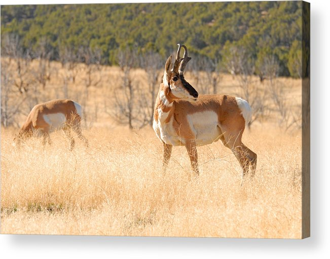 Pronghorn Acrylic Print featuring the photograph Utah Pronghorn by Dennis Hammer